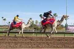 骆驼比赛在菲尼斯,亚利桑那 免版税图库摄影