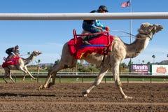 骆驼比赛在菲尼斯,亚利桑那 库存照片