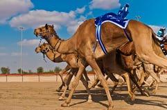 骆驼比赛在迪拜 免版税库存图片