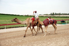 骆驼比赛 库存图片