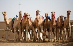 骆驼比赛 库存照片