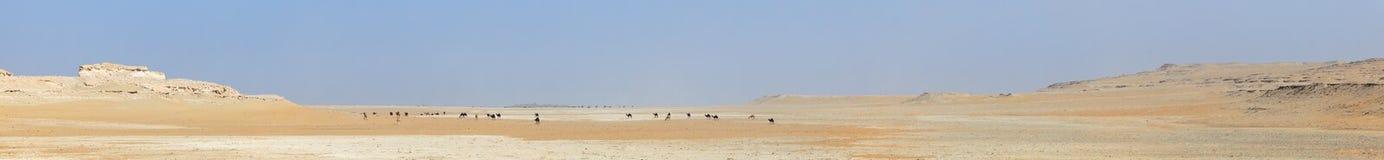 骆驼沙漠牧群全景 图库摄影