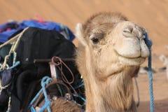 骆驼沙漠题头 库存图片