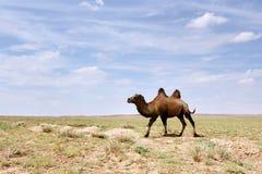 骆驼沙漠gobi 库存照片
