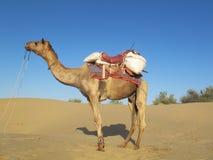 骆驼沙漠tar 库存图片