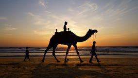 骆驼海运剪影日落 免版税图库摄影