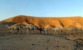 骆驼火车在利雅得,沙特阿拉伯王国之外的沙漠 免版税库存照片