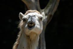 骆驼牙科医生需要 免版税库存照片