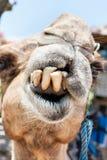 骆驼牙面孔的特写镜头和嘴 免版税库存照片
