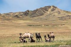 骆驼牧群在山背景的  免版税图库摄影