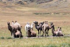 骆驼牧群在山背景的  免版税库存图片