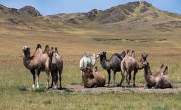 骆驼牧群在山背景的  免版税库存照片