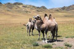 骆驼牧群在山背景的  库存照片