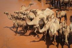 骆驼牧群在河冷却在一个热的夏日 肯尼亚,埃塞俄比亚 免版税库存照片
