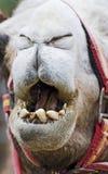 骆驼特写镜头嘴 免版税库存照片