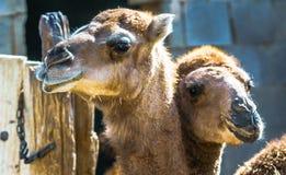 骆驼特写镜头在伊朗的沙漠 免版税库存图片