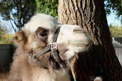 骆驼特写镜头在树毛茸的头发附近站立下午 库存图片