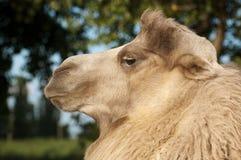 骆驼特写镜头纵向 免版税库存图片