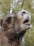 骆驼特写镜头题头 免版税库存照片