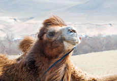 骆驼特写镜头 免版税库存照片
