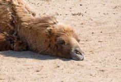 骆驼特写镜头 免版税库存图片