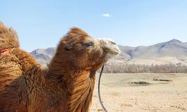 骆驼特写镜头 库存图片
