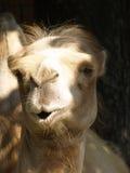 骆驼特写镜头照片  免版税库存图片