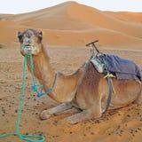 骆驼特写镜头humped大反刍动物二 库存图片