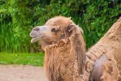 骆驼独峰驼两小丘变褐吃干草的蓬松棕色毛皮 免版税库存照片