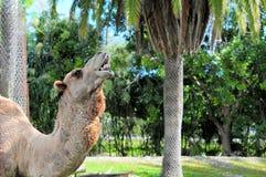 骆驼独峰驼纵向 免版税库存照片