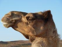 骆驼独峰驼题头纵向 库存照片