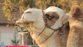 骆驼生活 库存照片