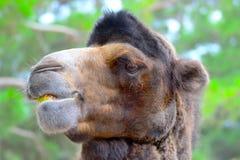 骆驼用在她的嘴的一个苹果 库存图片