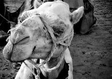 骆驼白色 免版税库存图片