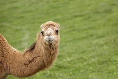 骆驼的你好 图库摄影
