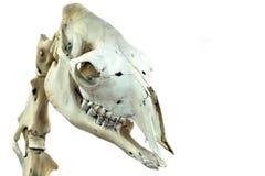 骆驼的头骨是特写镜头 一个科学或兽医题材的被隔绝的图片在白色背景 库存照片