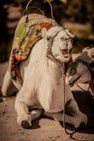 骆驼的微笑 免版税库存图片