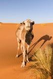 骆驼看照相机,摩洛哥 库存图片