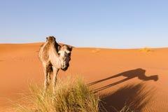 骆驼看照相机,摩洛哥 免版税图库摄影