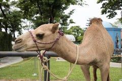 骆驼看 库存照片