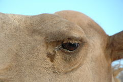 骆驼眼睛 库存图片