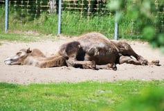 骆驼睡觉 库存图片