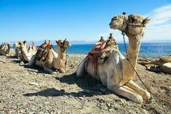 骆驼离开船 库存图片