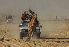 骆驼种族在埃及 免版税图库摄影