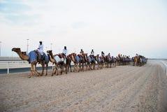 骆驼种族,多哈,卡塔尔 免版税图库摄影
