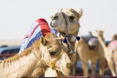 骆驼种族 库存照片