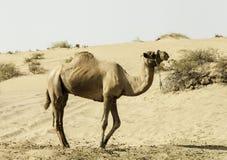骆驼站立在沙丘的,迪拜,阿联酋 免版税库存照片