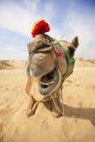骆驼笑 库存图片