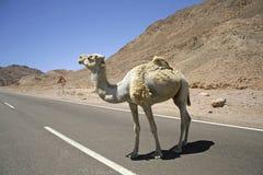 骆驼红色区域海运 库存照片