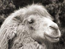 骆驼纵向乌贼属射击葡萄酒 图库摄影
